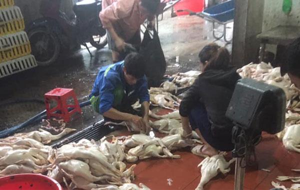 Lò giết mổ gia cầm gà vịt số lượng lớn