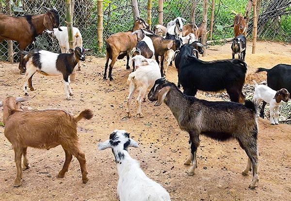 Đàn dê chăn thả