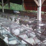 Thỏ nuôi công nghiệp