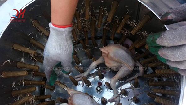 Thử vặt lông gà bằng máy vặt lông gà đang có ý định mua