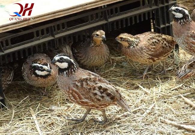 Quang Huy xin giới thiệu đến bạn cách vặt lông chim cút hiệu quả