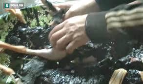 Quy trình sử dụng nhựa thông để vặt lông gà